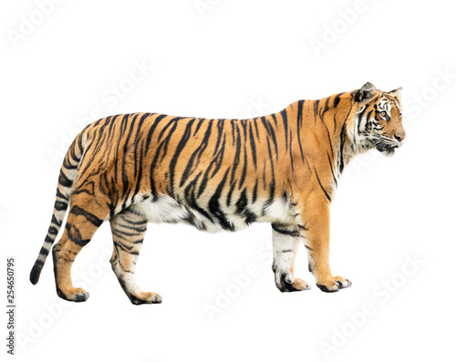 bengal tiger isolated Fototapet