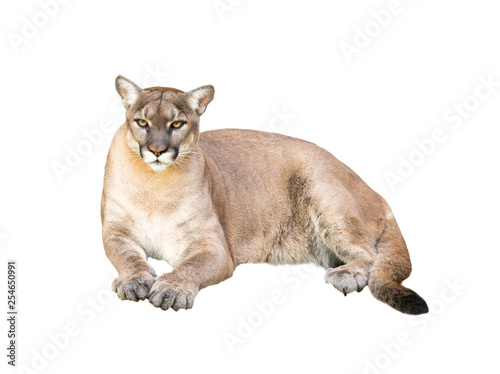 Spoed Fotobehang Puma puma isolated on white background