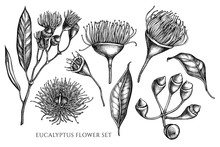 Vector Collection Of Hand Drawn Black And White Eucalyptus Flower