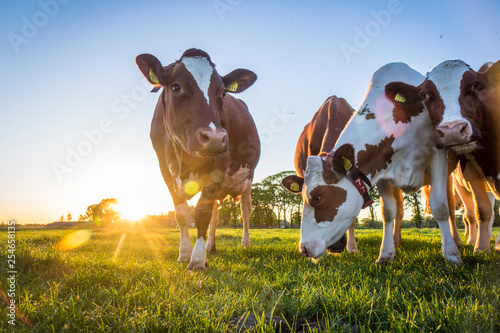 Acrylic Prints Cow Cows
