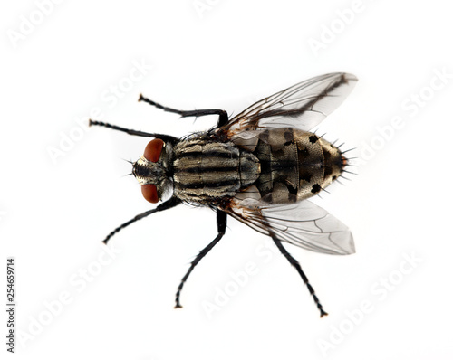Isolated Fly on a White Background