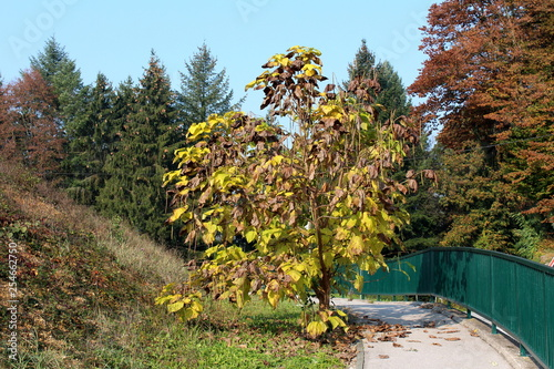 Fotografie, Obraz  Decorative tree with long thin cylindrical seed pods and light green to yellow a