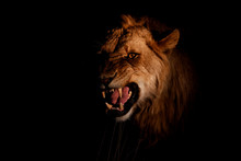 Young Male Lion In The Spotlight In The Dark In Sabi Sands Game Reserve In South Africa