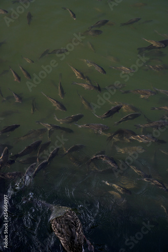 Printed kitchen splashbacks Khaki Lots of fish in a river or lake. Fishing in the mountains or in the forest. Stock photo