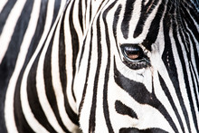 Close-up Of A Zebra Eye
