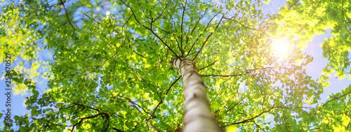 Obraz na plátně New birch leaves