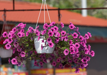 Pink Petunia Flowers In A Hanging Pot On A Blurred Background.