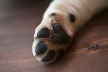 Labrador Puppy Dog Paw - Close Up