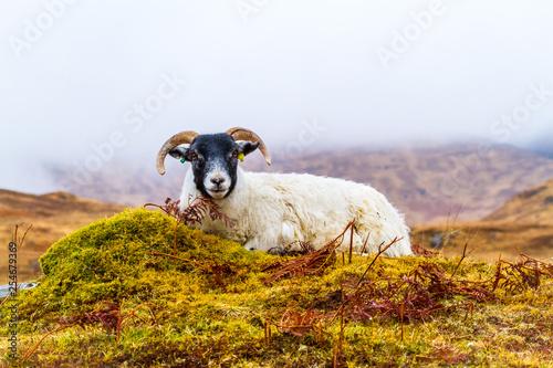 Scottish Blackfaced ewe sat on mist covered, wet hillside Canvas Print