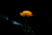 Flower Rose Orange Yellow On Dark Background And Lighting Artwork  Concept
