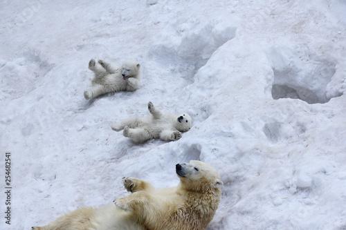 Recess Fitting Polar bear Polar bear with cubs on snow. Polar bear mom with twins.