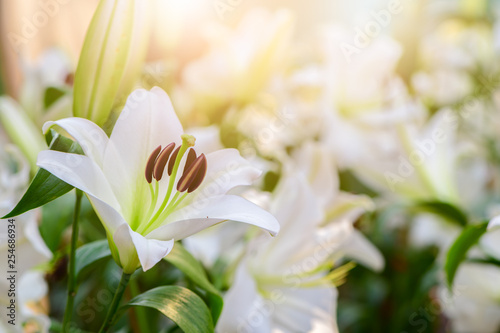 Fotografia  Close up white Lilly blooming in the garden.