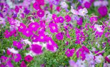Background Surfinia Hybrida Petunia.