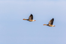 Two Greylag Geese In A Side Vi...