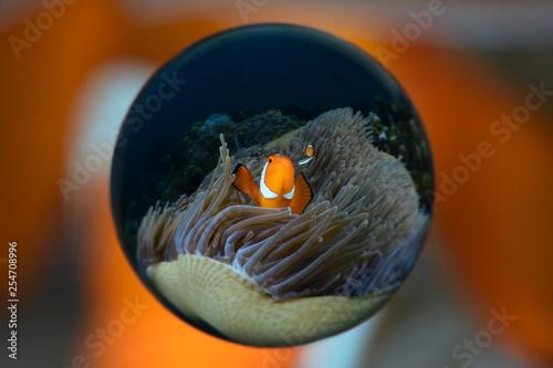 Fotografie, Tablou  Incredible underwater world - Amphiprion ocellaris - False clown anemonfish (Western clownfish)