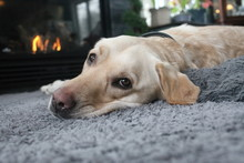 Yellow Lab Dog Sitting In Front Of A Fireplace To Have A Nap