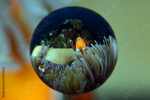 Fotografie, Tablou  Incredible underwater world - Amphiprion ocellaris - False clown anemonfish (Western clownfish)