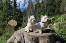 Two West Highland White Terrie...