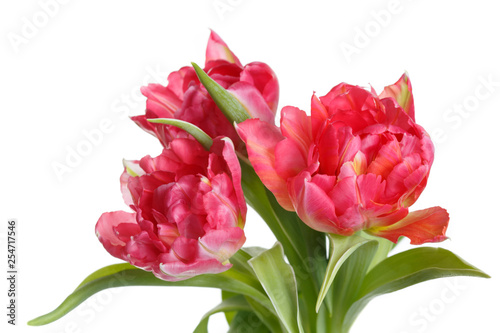 Bouquet of tulips of coral color isolated on white background.