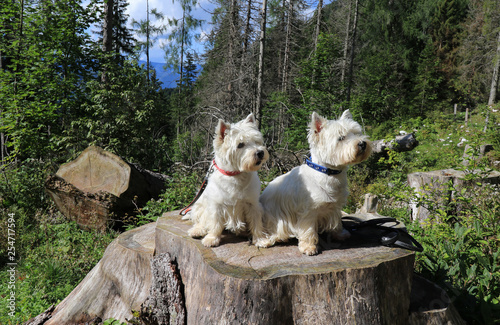 Fototapeta Two West Highland white terrier on a tree stump in the forest in summer obraz