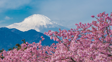 Sakura Z Fuji Mountain View Tłem