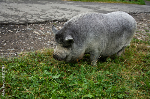 Beautiful gray small domestic pig on the road.