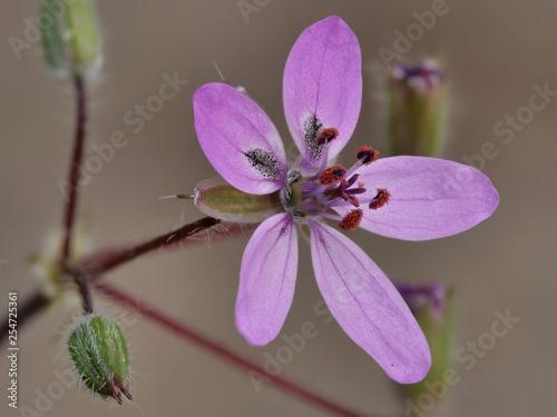 Photo  Gewöhnlicher Reiherschnabel, Erodium cicutarium, rosa Blüte vor unscharfem Hinte