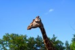 The giraffe is a genus of African even-toed ungulate mammals, the tallest living terrestrial animals and the largest ruminants.