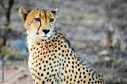 A cheetah looks at the sunset in Mala Mala Reserve near Johannesburg South Afric Fototapete