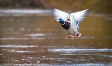 A Male Mallard Duck (Anas Platyrhynchos) Takes Flight On The River Severn In Shrewsbury, Shropshire, England.