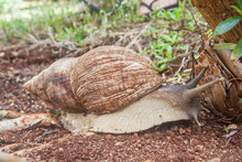 Achatina Fulica - The Giant African Land Snail Creeping On The Garden Soil. It Is Found On The Zanzibar Island, Tanzania