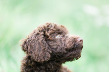 Brown Standard Poodle Portrait