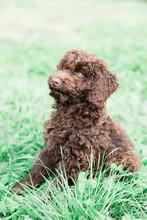 Brown Standard Poodle Sits In ...