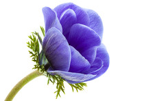 Macro Of Blue Anemone On White Background