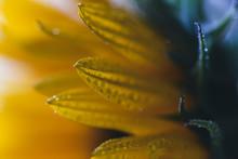 Extreme Close-up Of Wet Sunflo...