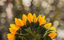 Close Up Of Sunflower Growing Outdoors