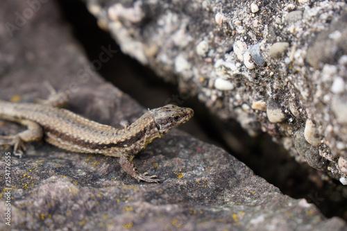 Photo  brown lizard with stripe sitting on stone