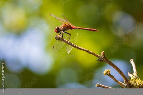 Fotografie, Obraz  ruddy darter (Sympetrum sanguineum) front view
