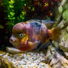 Flowerhorn Cichlid Hybrid, Color Mutation, Popular Pet In Aquaculture, Genetic Manipulation