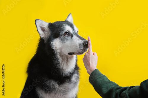Obraz na plátně  human hand ordering silence to an alaskan malamute dog
