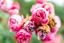 Rose Garden With Macro Closeup...
