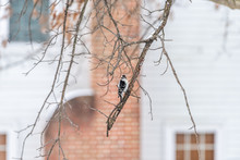 Virginia Winter Season And Downy Woodpecker Female Perched On Oak Tree Branch With Bokeh Background Of House