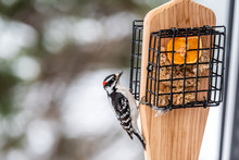 Closeup Of Wooden Suet Feeder In Virginia And Male Downy Woodpecker Red Color With Orange Half With Peanut Butter And Bokeh Background During Winter