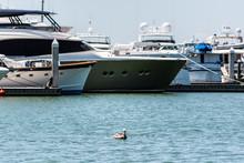 Sarasota, USA Pelican Swimming...