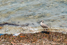 Sanibel Island In Florida Bay Sea Near Beach Coast With Closeup Of Willet Bird Walking By Water
