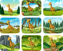 Set Of Giraffe Scenes