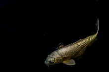 White Koi Fish Isolated On Black Background With Room For Text
