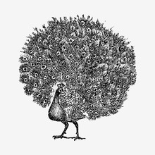 Vintage Peacock Illustration
