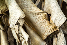 Dry And Withered Banana Leaves Texture, Close Up & Macro Shot, Abstract Pattern Background, Thai Fruit