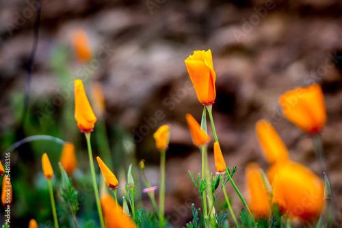 Photo  yellow crocus in spring